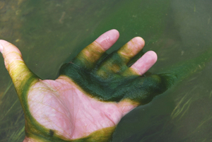 algae in palm