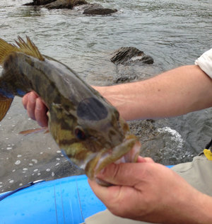 Usgs shenandoah smallmouth bass research beginning to find for Potomac river fishing spots