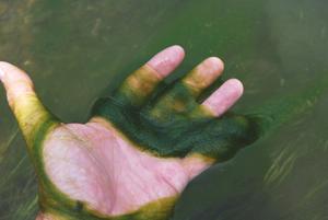 algae in palm