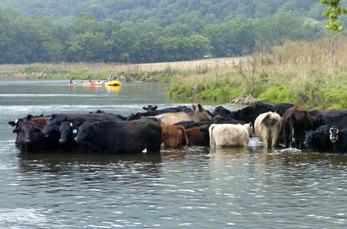cattle in river