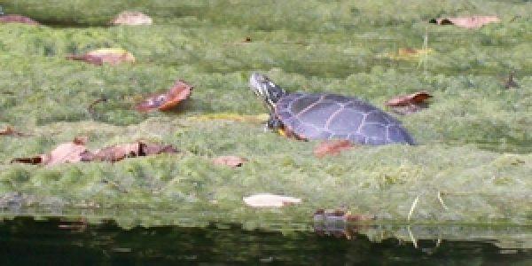 algae+turtle