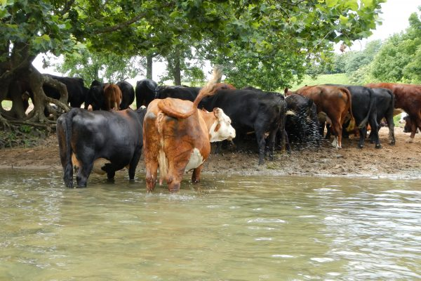 cattle in the shenandoah